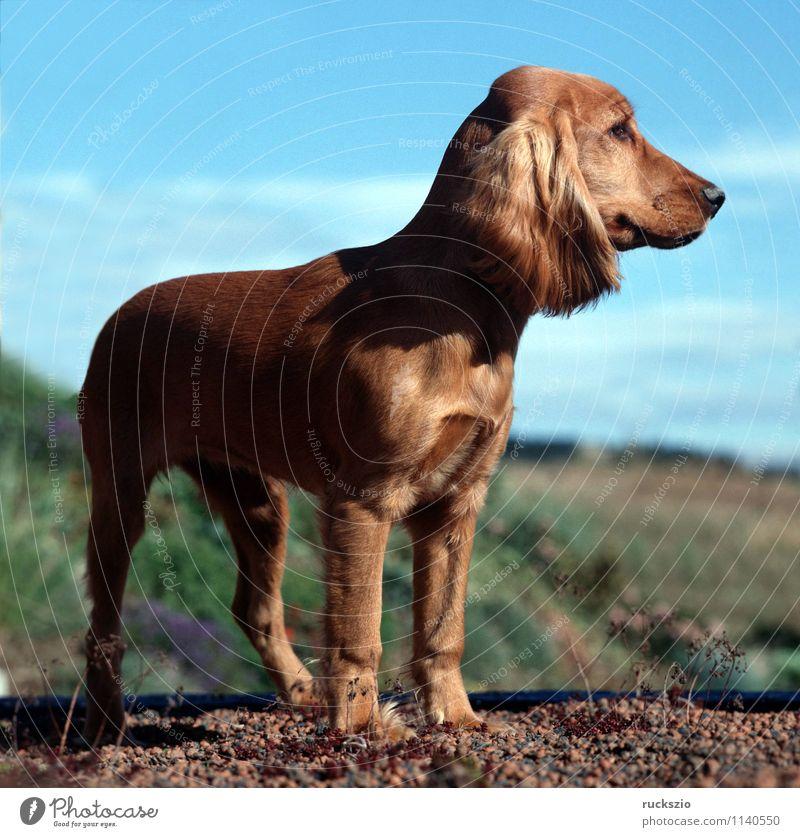 Cocker, Spaniel, Roter, Tier Hund rot Cocker Spaniel Jagdhund Apportierhund Stoeberhund Wasserhund Englische Hunderasse Junger Familienhund Rassehund Portrait