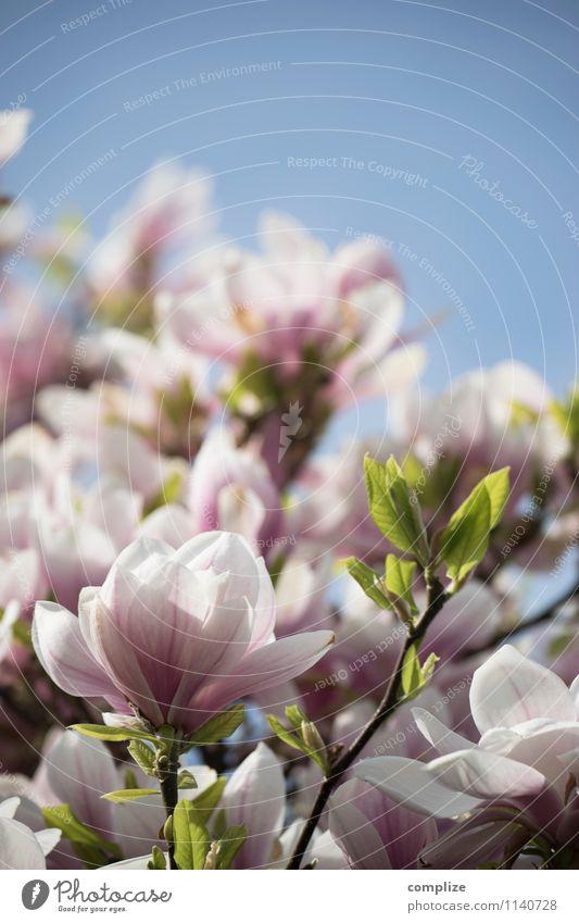 oh Magnolia! Natur schön Baum Erholung Blatt ruhig Leben Frühling Blüte rosa Zufriedenheit Blühend Wellness rein Wohlgefühl Duft