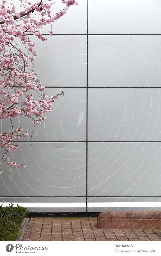 Frühling von links Natur Pflanze Schönes Wetter Baum Kirschbaum Zweige u. Äste Kirschblüten Obstbaum Rasen Garten Stadt Stadtzentrum Menschenleer Hochhaus