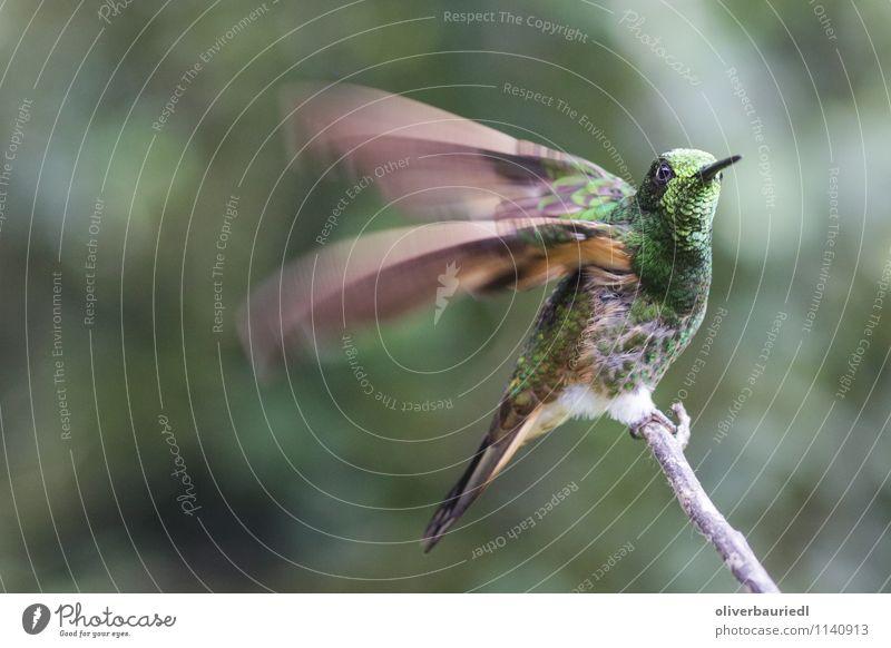 Kolibri fliegt los Umwelt Natur Landschaft Baum Vogel kollibri fliegen Geschwindigkeit Farbfoto Außenaufnahme Nahaufnahme Tag