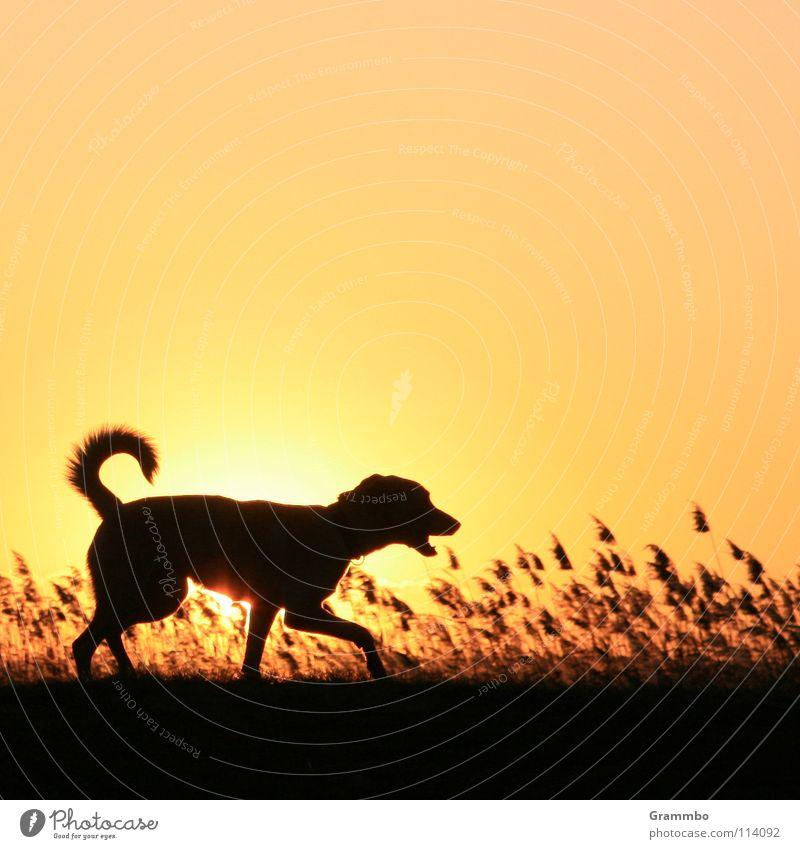 Deichpatrouille Gras Hund Gegenlicht Sonnenuntergang Silhouette Säugetier Lilli Abend Abenddämmerung Himmel Schatten