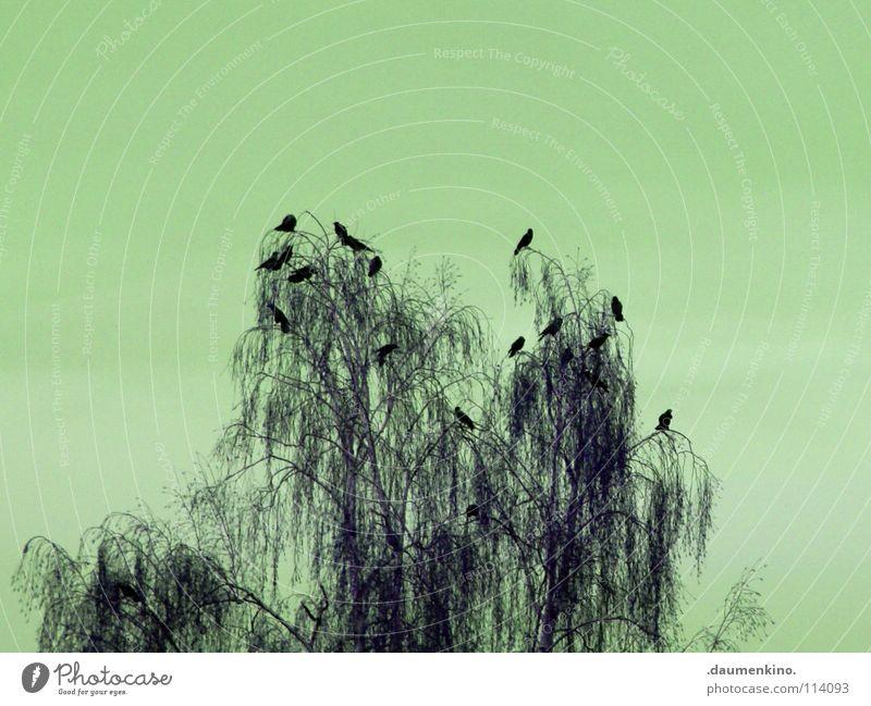 Alfred Hitchcock Baum Vogel Rabenvögel Angst gruselig übertrieben Panik gefährlich Himmel Ast Schatten sillhoutte