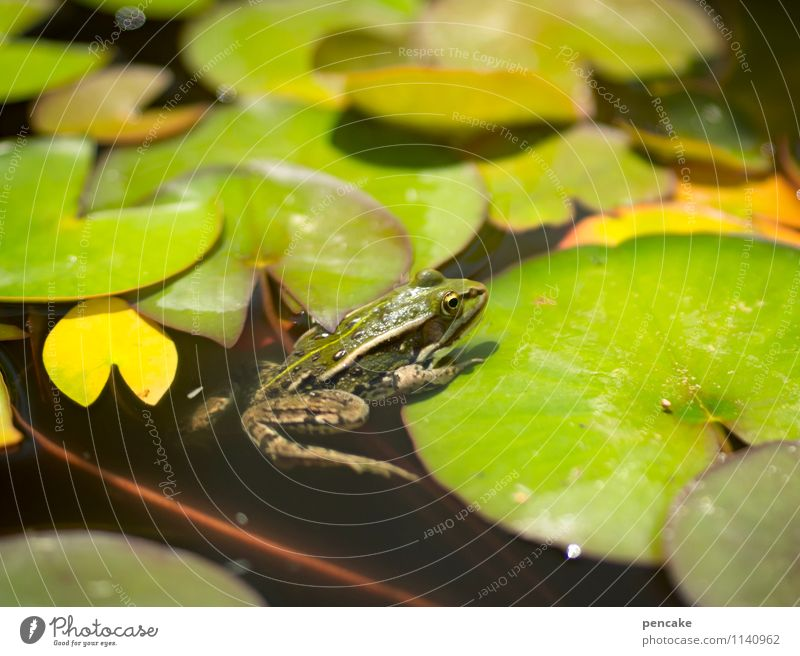 sonnendeck Natur Pflanze Urelemente Wasser Sommer Teich Frosch 1 Tier Zeichen Freizeit & Hobby Freude Idylle nackt schön Seerosenblatt Seerosenteich grün