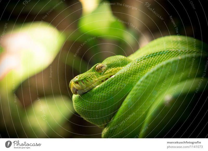 Grüner Baumpython grün Tier kalt außergewöhnlich braun glänzend liegen Wildtier bedrohlich Haustier exotisch hängen Aggression hocken Schlange Reptil