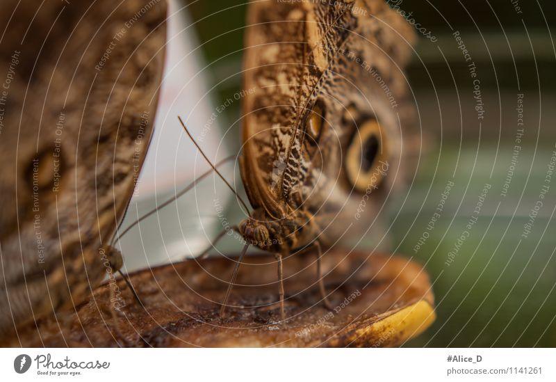 Bananenfalter Tier Wildtier Schmetterling Flügel Insekt tagfalter 2 Tierpaar füttern außergewöhnlich braun grün Nahaufnahme Detailaufnahme Makroaufnahme