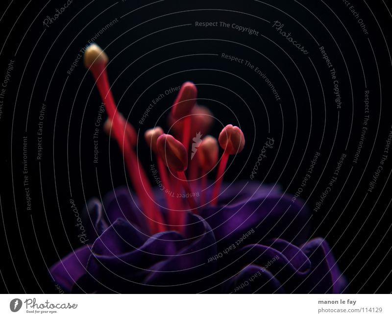Der Dirigent übt noch Fuchsie rot schwarz weiß Pflanze Blüte skurril Leben Blütenstempel Staubfäden außergewöhnlich Zimmerpflanze Nacht nah Makroaufnahme