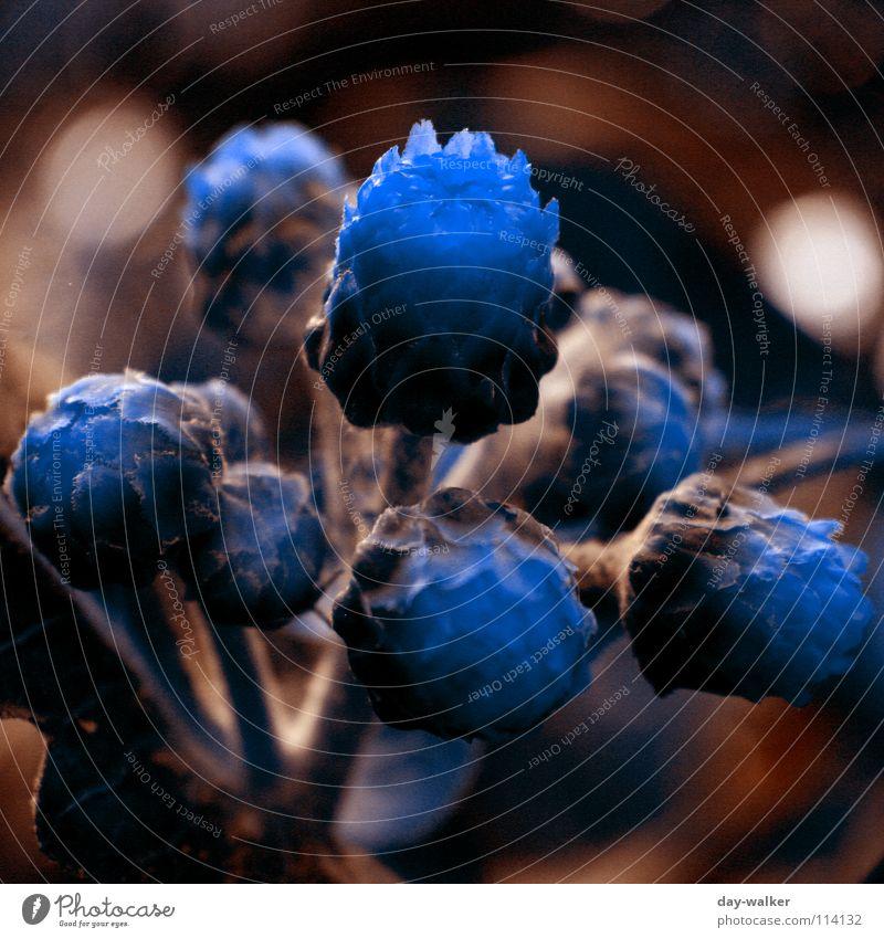 Adel verpflichtet Pflanze Nahaufnahme Blume Blüte dunkel braun Tiefenschärfe mystisch Farbe knopse blau edel außergewöhnlich Technik & Technologie Kontrast