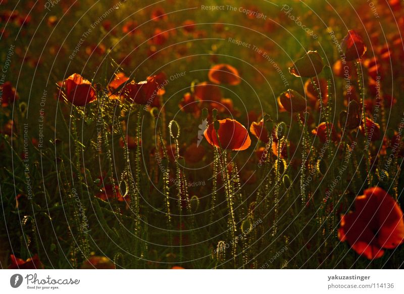 Bloody Luxury Blume grün Pflanze rot Sommer Tier Frühling Mohn Klatschmohn