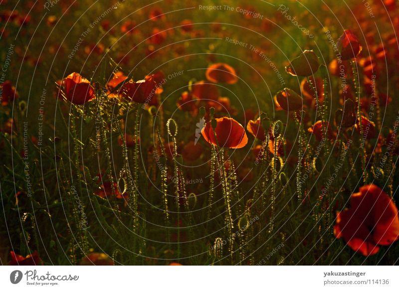 Bloody Luxury rot grün Mohn Pflanze Tier Blume Sommer Frühling Klatschmohn Opium Morphium