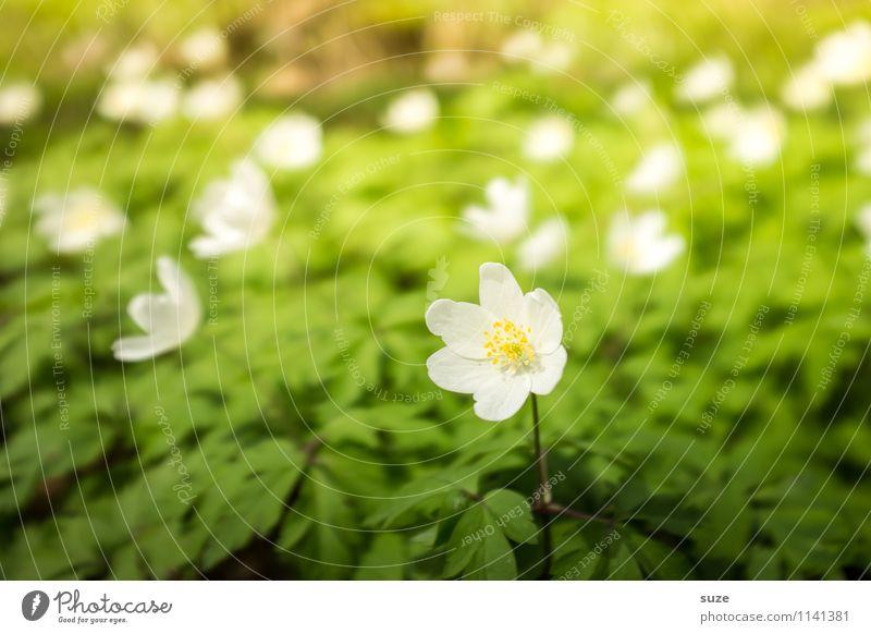 Rosa Buschwind liebt das Rampenlicht Natur Pflanze grün schön weiß Blume Umwelt gelb Blüte Frühling klein Stimmung hell wild leuchten Idylle