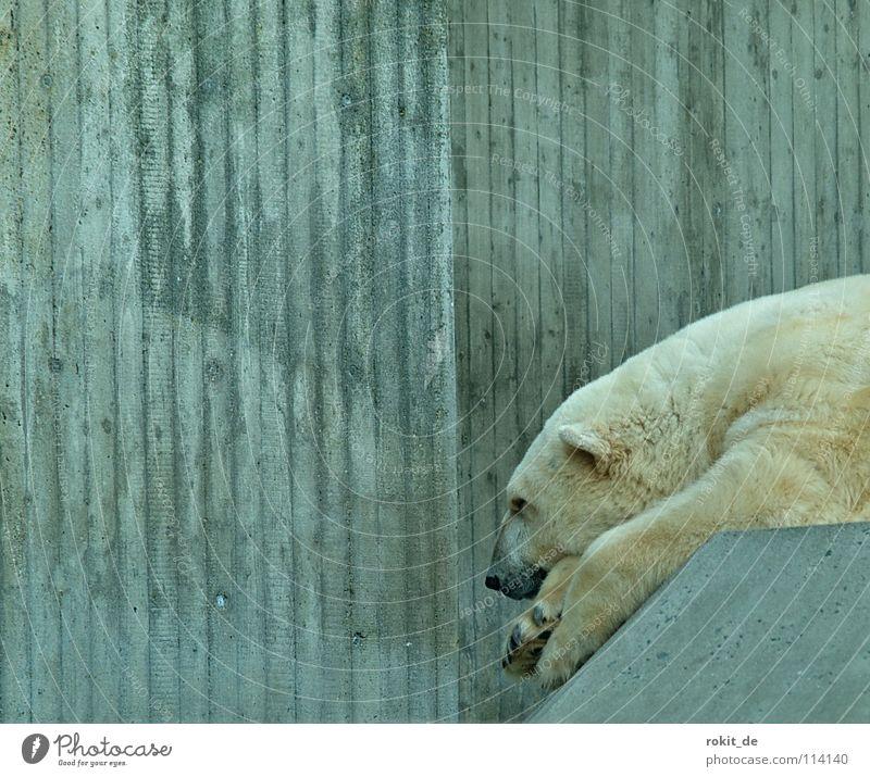 Mittagspause bei Knut´s Eisbär Fell kalt Zoo Beton ruhig Pause schlafen Fressen weiß Landraubtier Säugetier Pfote Schnauze schwarz Nordpol Langeweile Bär