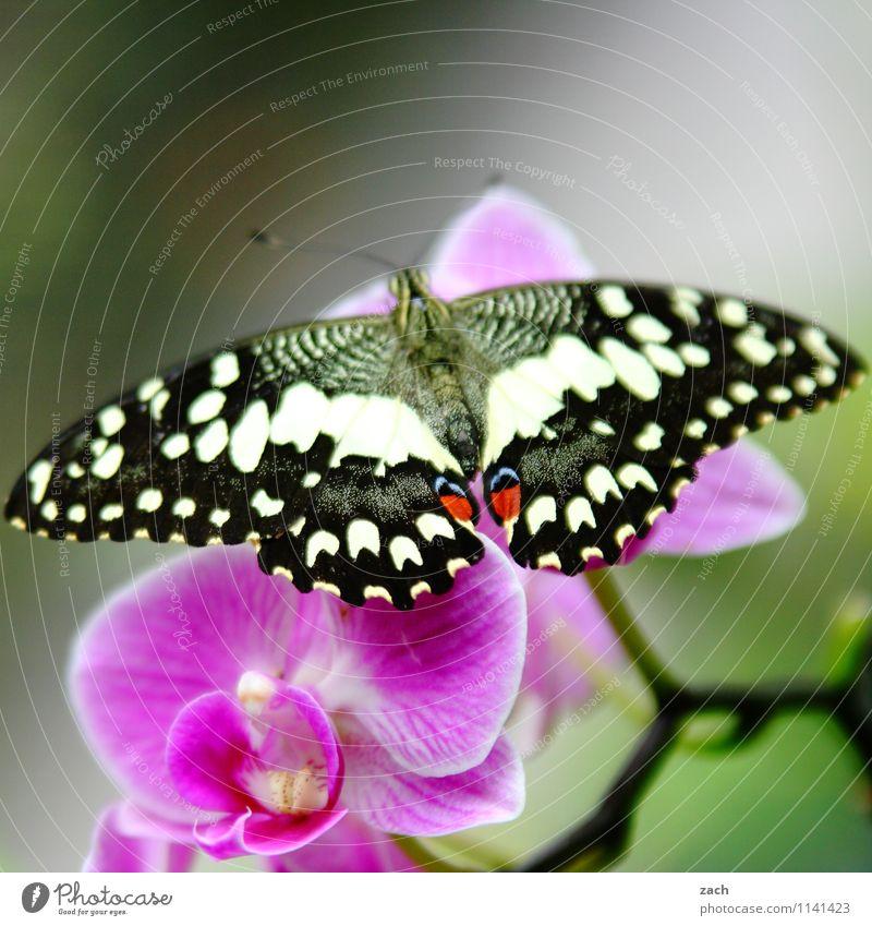 aufgefaltet Frühling Sommer Pflanze Blume Orchidee Blatt Blüte exotisch Tier Wildtier Schmetterling 1 fliegen grün rosa Farbfoto Außenaufnahme Menschenleer