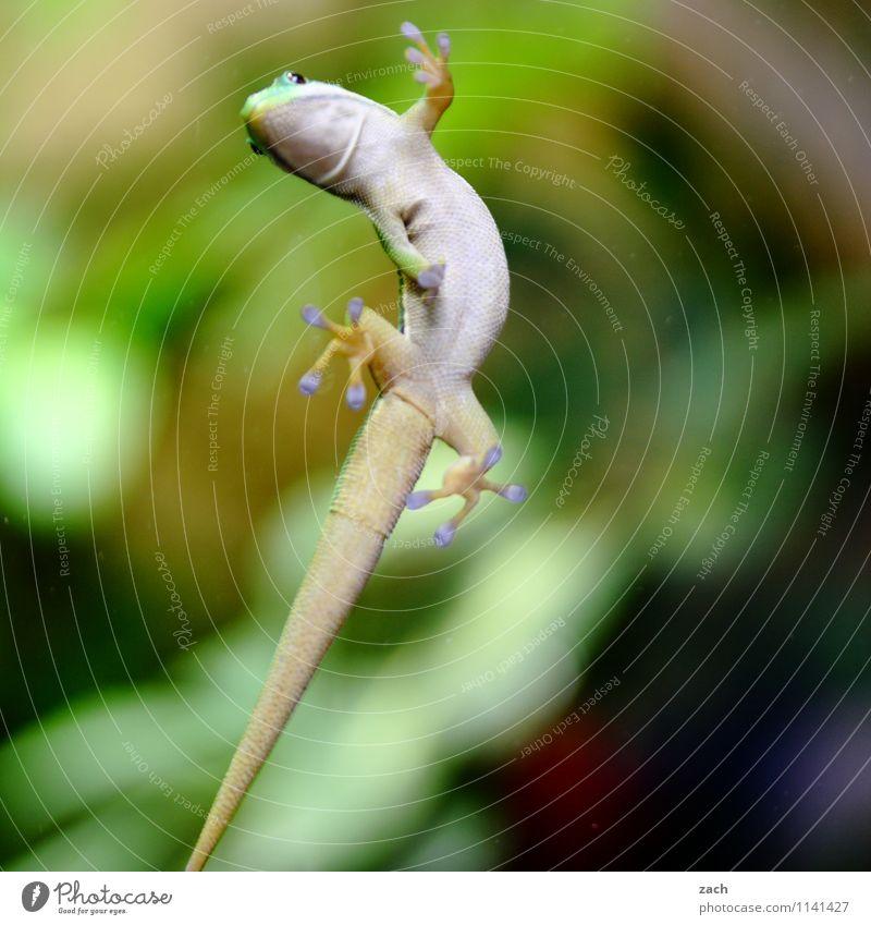 Luftikus grün Tier Wildtier warten beobachten Kraft Tiergesicht exotisch Fressen geduldig füttern Reptil Schuppen Echsen Terrarium Gecko