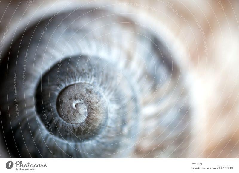 Kunstwerk der Natur alt ruhig Tier Leben klein Unendlichkeit Meditation drehen Spirale Sinnesorgane Kalk Weinbergschneckenhaus natürliche Farbe