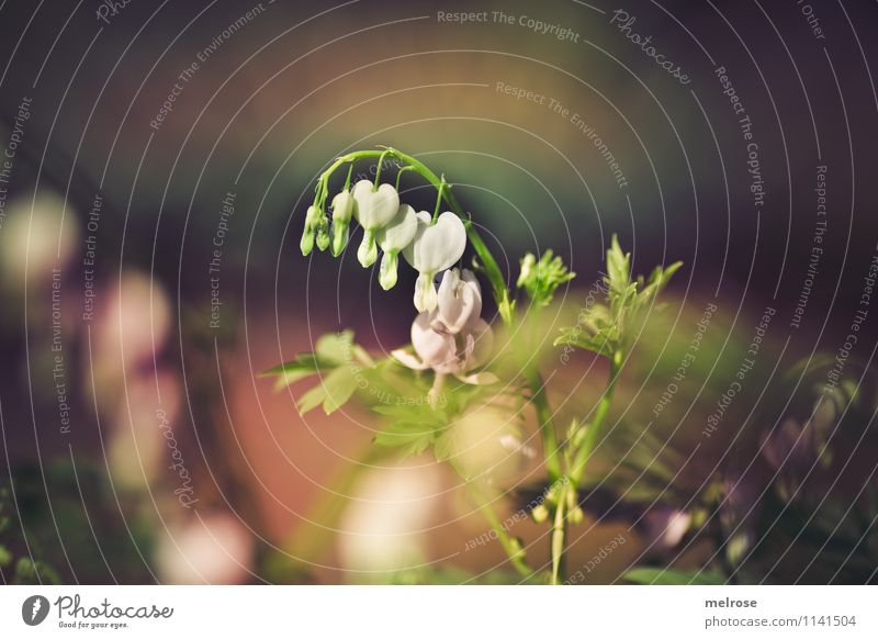 * bleading hearts * elegant Stil Valentinstag Muttertag Natur Pflanze Erde Frühling Schönes Wetter Blume Blatt Blüte Wildpflanze Tränendes Herz Blütenblatt