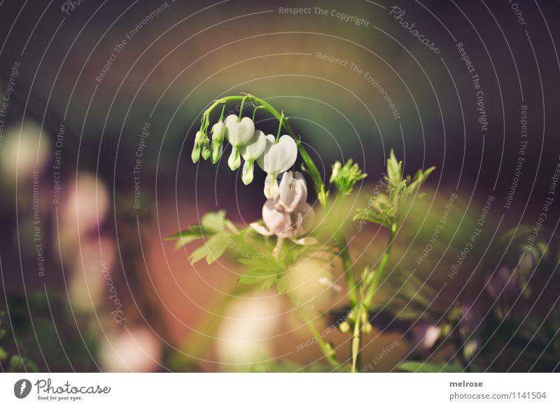 * bleading hearts * Natur Pflanze grün weiß Erholung Blume Blatt Gefühle Frühling Blüte Stil Garten braun träumen leuchten elegant
