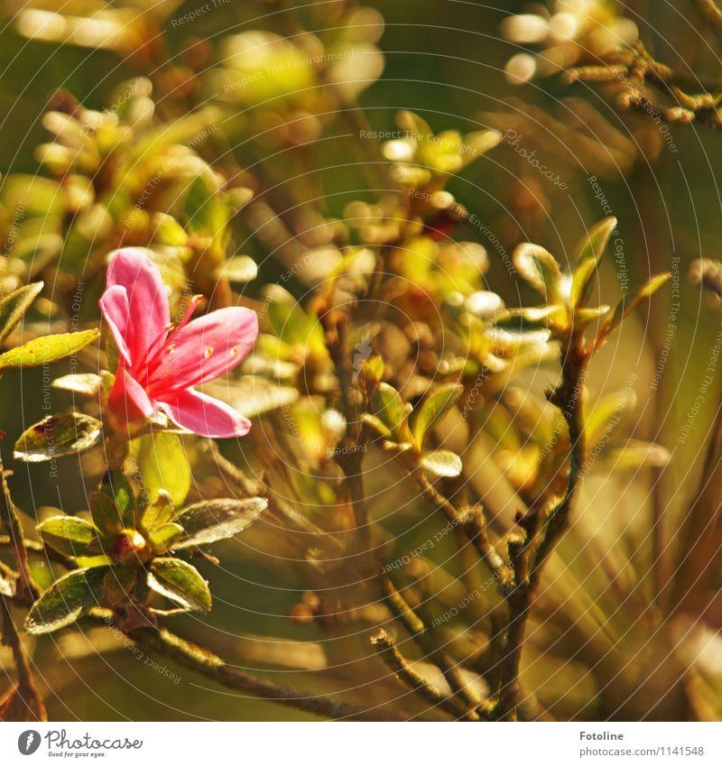 PINK Natur Pflanze grün Umwelt Frühling Blüte natürlich Garten braun hell rosa Park Sträucher nah