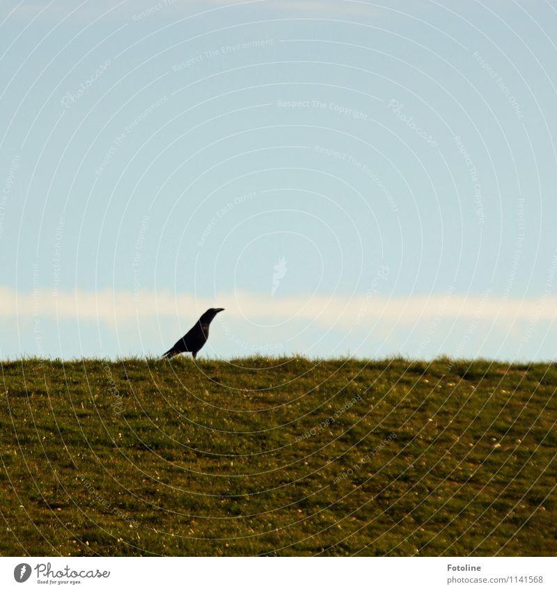 STOLZ! Umwelt Natur Pflanze Tier Himmel Wolkenloser Himmel Schönes Wetter Gras Wiese Wildtier Vogel 1 hell natürlich blau grün schwarz weiß Rabenvögel Krähe