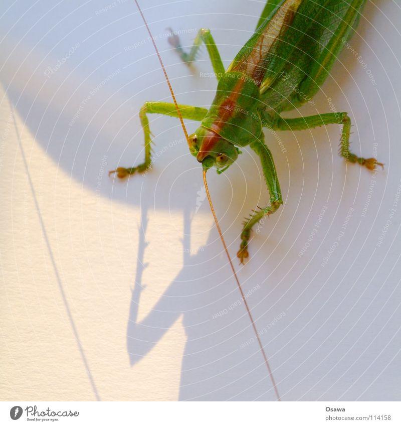 Vierbeiner Heuschrecke Salto grün Fühler Insekt Tier Beine Schatten