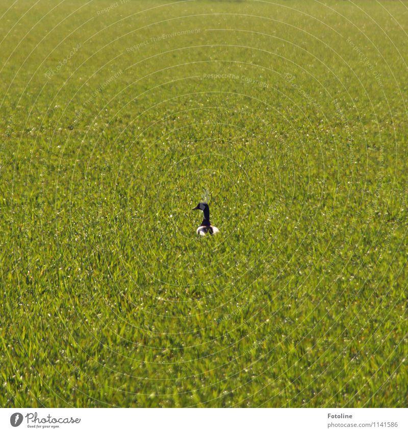 Wo war der Teich??? Umwelt Natur Landschaft Pflanze Tier Schönes Wetter Gras Wiese Wildtier Vogel 1 hell Wärme grün Ente Entenvögel Erpel Farbfoto mehrfarbig