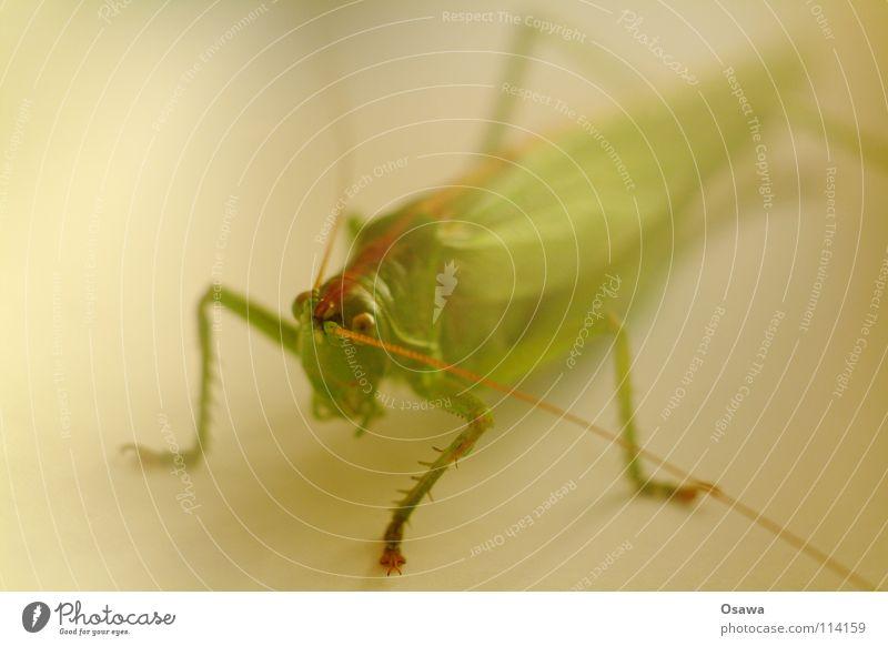 Hamilton Heuschrecke Salto grün Fühler Insekt Tier Unschärfe Tiefenschärfe Weichzeichner Beine Vierbeiner Schatten