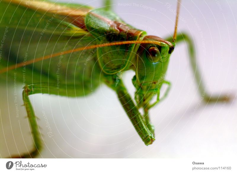 Klauenhygiene Heuschrecke Salto grün Fühler Insekt Tier Beine Vierbeiner Auge