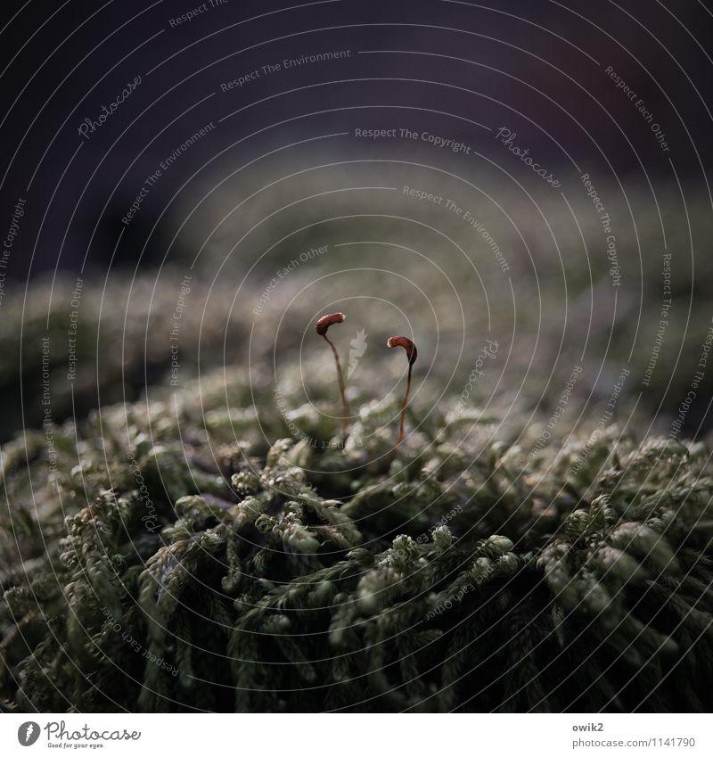 Flirt Umwelt Natur Pflanze Moos Wildpflanze Sporenkapsel Kommunizieren dünn Zusammensein klein nah unten Identität Zusammenhalt zerbrechlich winzig Waldboden