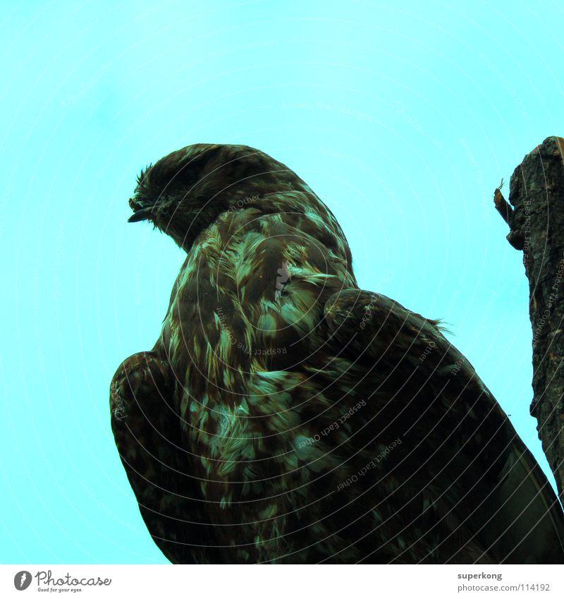 Bird Vogel Tier Geier Adler Luft Flake Kontrast blau Wings Flügel fliegen