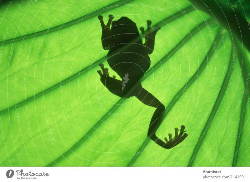 Frosch im Gegenlicht Blatt Frosch Laubfrosch Blattgrün