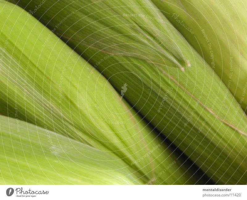 Mais Maiskolben grün