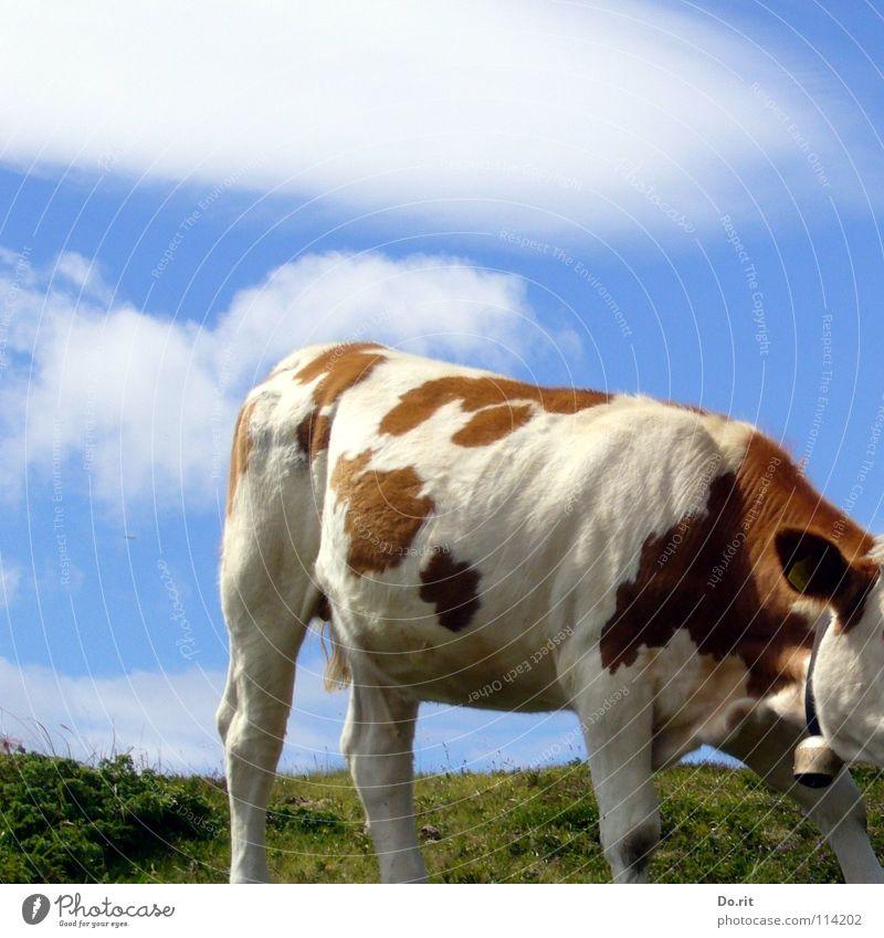 kopflos Kuh Dolomiten braun weiß grün Gras Glocke Kuhglocke Wolken Blauer Himmel Fell weich rot-bunt Rindfleisch Weide Alm Angst Panik Säugetier cow Fleck blau