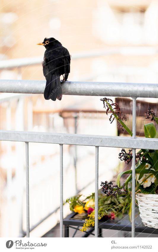 dackderrigigigi duck duck Häusliches Leben Wohnung Frühling Sommer Schönes Wetter Pflanze Blume Balkon Tier Wildtier Vogel Amsel 1 Gitter beobachten sitzen hell