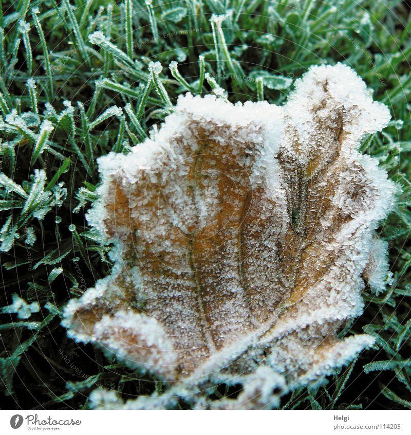 brrr.... eiskalt frieren gefroren Raureif Minusgrade Herbst Winter Morgen Eisblumen Eiskristall Blatt Gras Stengel Gefäße grün braun weiß glänzend Frost