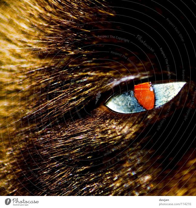 Devil's Eye vergrößert Tier Haustier gefährlich Säugetier Katze. Teufel Detailaufnahme Auge