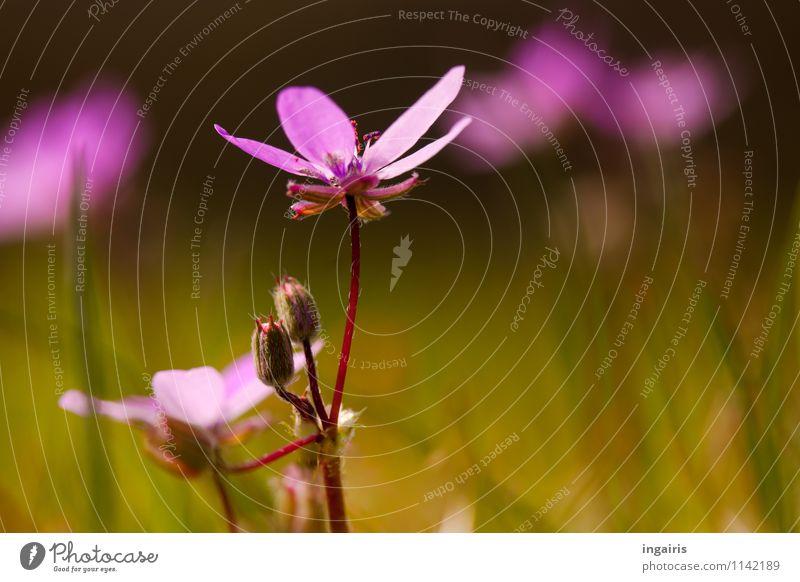 Frühling im Wiesengrund Natur Landschaft Pflanze Blume Gras Blüte Blühend leuchten Wachstum frisch klein natürlich grün violett rosa rot Stimmung
