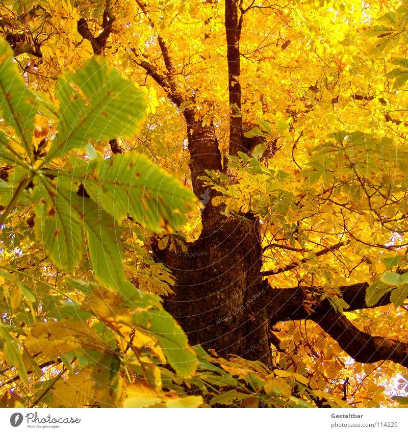 Herbstgeruch IV Blatt gelb Baumstamm Kastanienbaum Baumkrone Rauschen Oktober Abschied Saison Jahreszeiten Vergänglichkeit gestaltbar fallen Lampe Ende gold