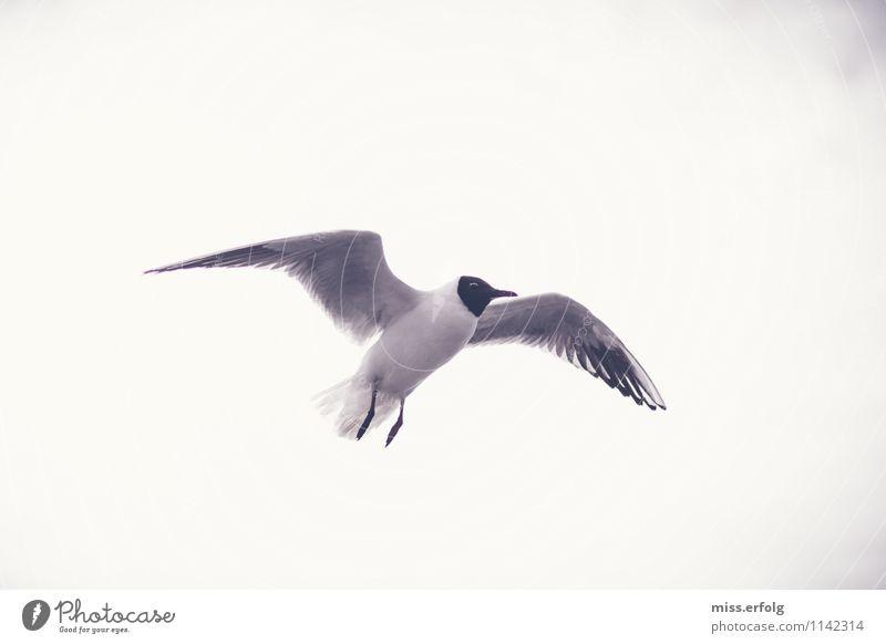 Schwarzkopf. Luft fliegen authentisch beweglich Angst Möwe Schwerelosigkeit leicht Schweben gleiten Vogel frei Himmel Freiheit Erleichterung Erholung Glück