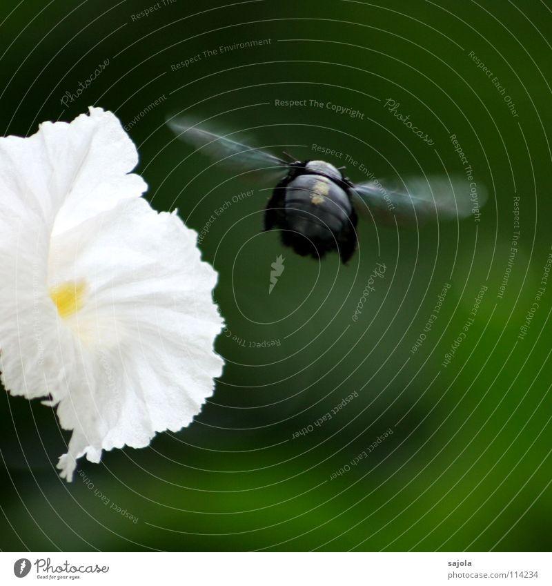 brummer im abflug Garten Natur Pflanze Tier Blume Blüte Biene Käfer Flügel 1 Bewegung fliegen Geschwindigkeit grün schwarz weiß Insekt Abheben Schweben