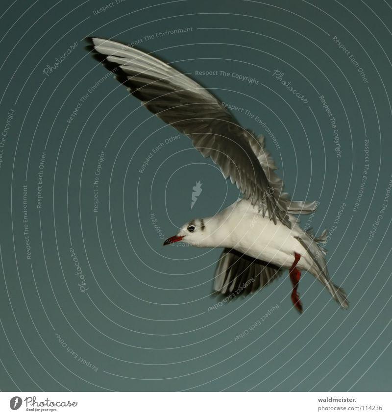 Sturmmöwe Möwe Lachmöwe Vogel Feder Schnabel Meer Strand Abend dunkel Möve Himmel Luftverkehr fliegen Flügel