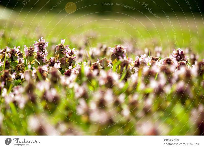 Wiese Garten Schrebergarten Gras Rasen Weide Unkraut Klee Brennnessel Blume Blüte Blühend Frühling Tiefenschärfe Horizont Ferne Natur Textfreiraum