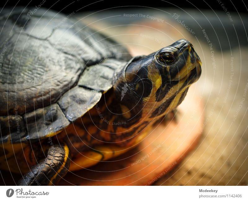 Hochnäsig Tier Wildtier Zoo Aquarium Schildkröte Schildkrötenpanzer 1 genießen liegen Blick sitzen warten authentisch außergewöhnlich exotisch glänzend kalt