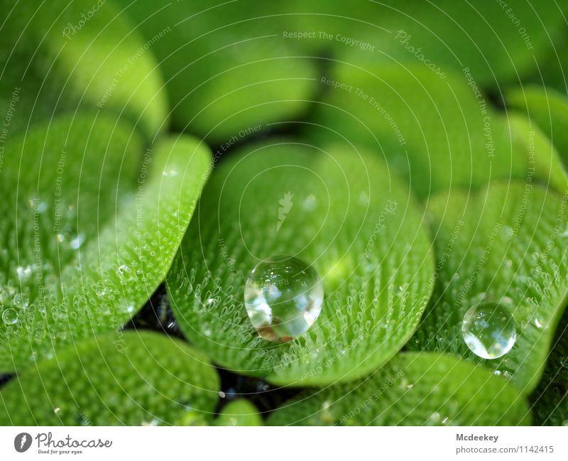 droplets Umwelt Natur Pflanze Wasser Wassertropfen Frühling Schönes Wetter Blatt Grünpflanze Wildpflanze exotisch Garten Park Teich Flüssigkeit kalt nass