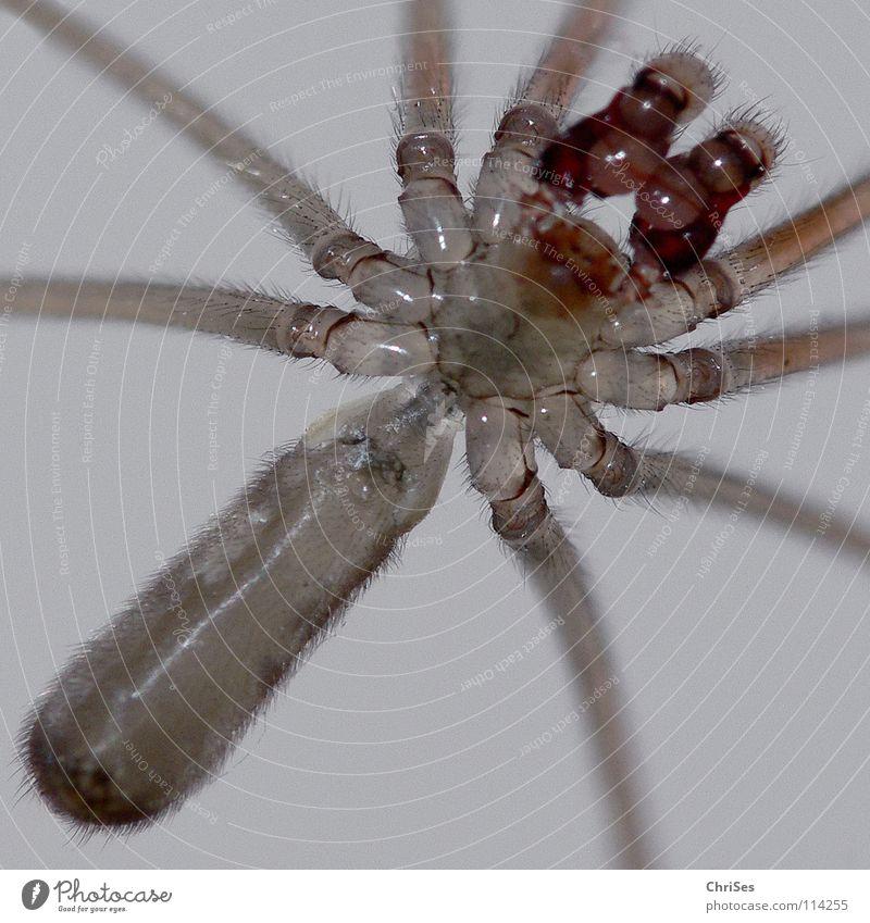 Zitterspinne, Pholcus phalangioides Spinne Baldachin Tier Insekt maskulin Ekel Gliederfüßer Leuchttisch Nordwalde Angst Panik Makroaufnahme Nahaufnahme