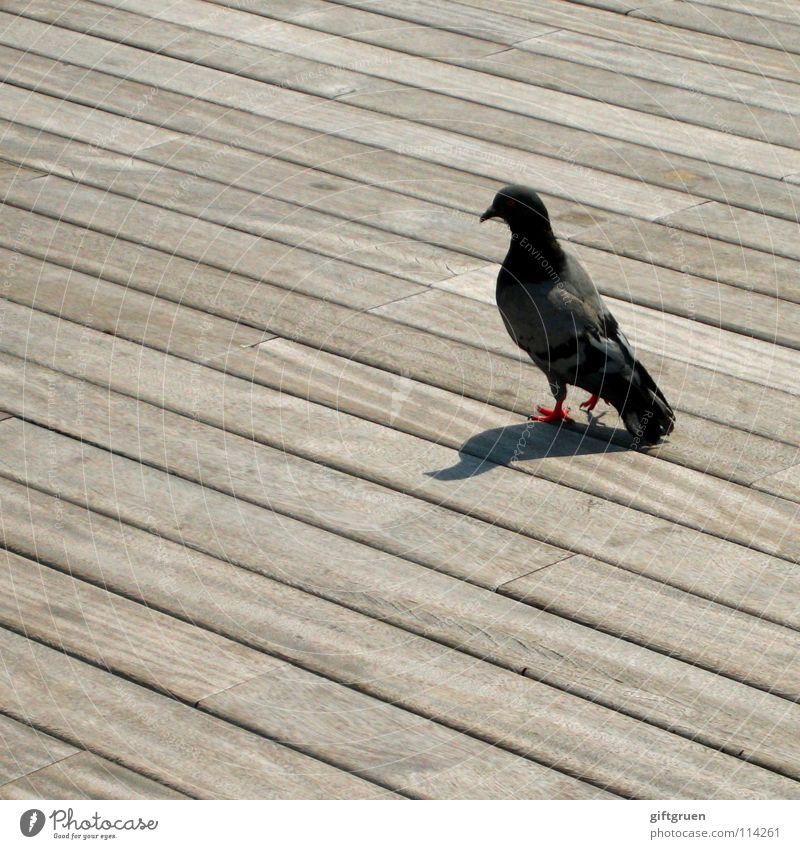 die sache mit der taube Taube Vogel Tier Holz Promenade Frieden ratte der lüfte fliegen Feder sitzen Holzbrett Schatten