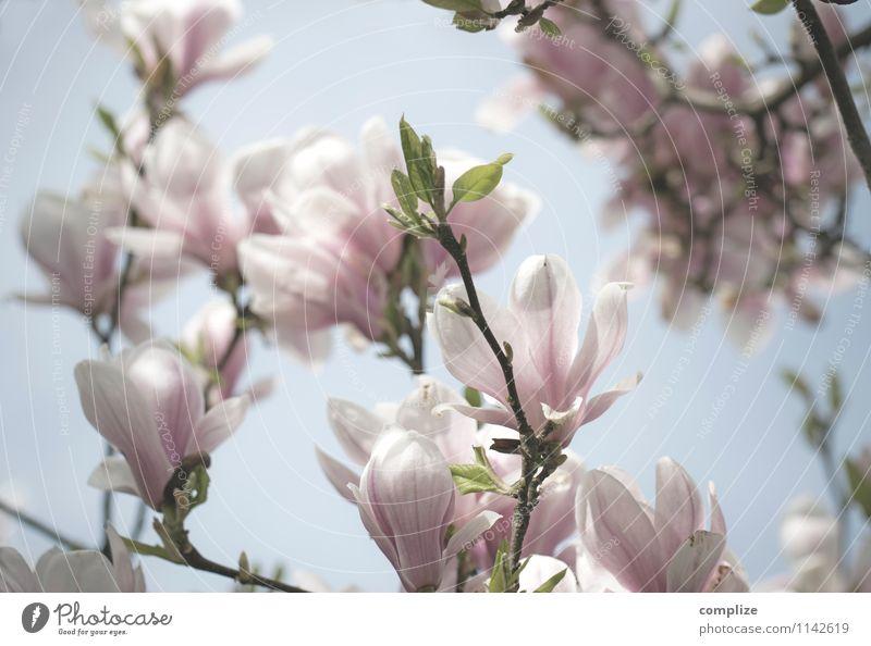 magnolia schön Gesundheit Wellness Leben harmonisch Wohlgefühl Zufriedenheit Sinnesorgane Erholung ruhig Meditation Duft Spa Pflanze Baum Blume Blüte exotisch