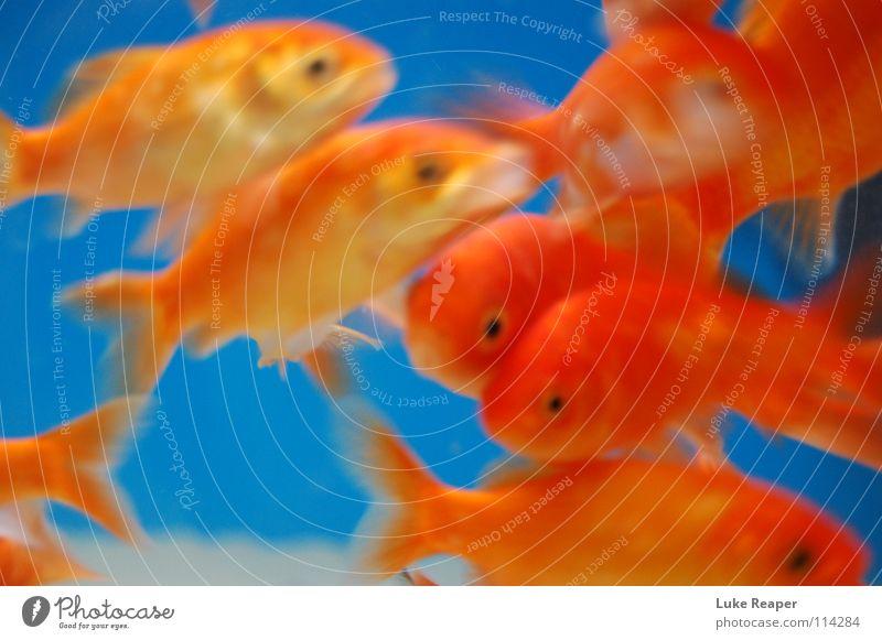 Orangenfische Wasser gold Fisch Aquarium Angeln Tier Goldfisch Kieme Süßwasser