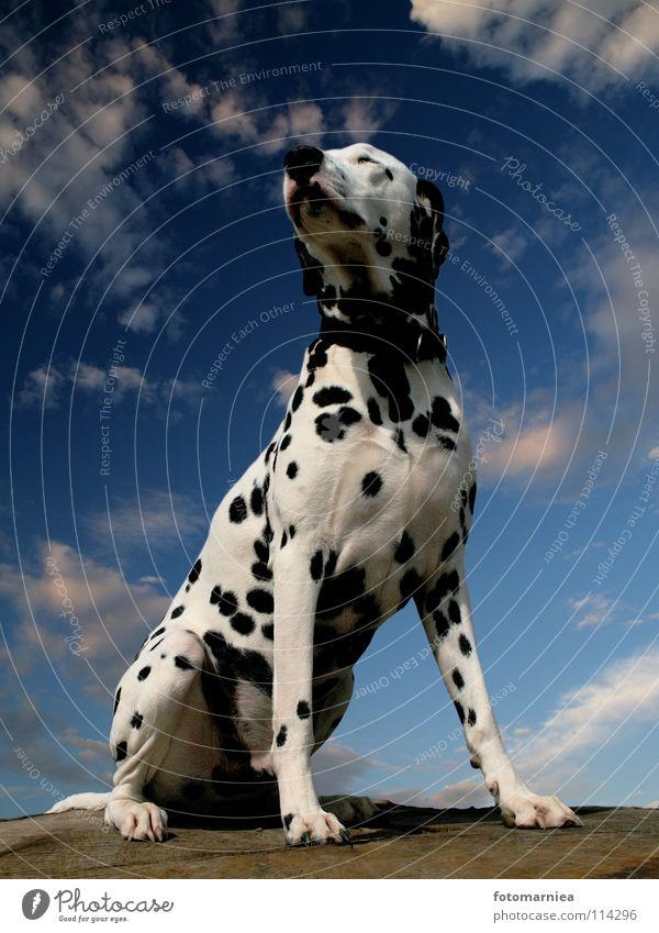 stolz. Hund Dalmatiner Baum Angst Säugetier Himmel Stolz