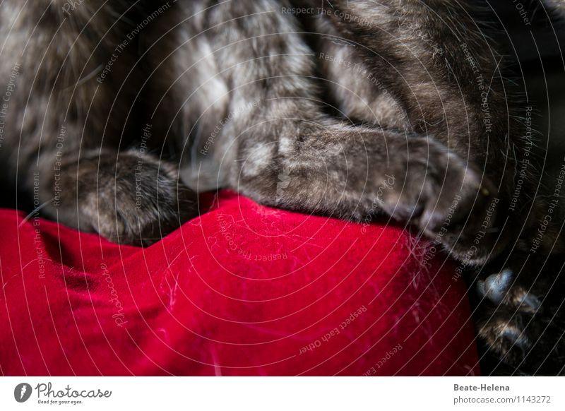 Ziemlich haarige Angelegenheit Lifestyle elegant Stil Tier grauhaarig Katze Pfote festhalten Blick sitzen warten einzigartig weich rot Kraft Sicherheit