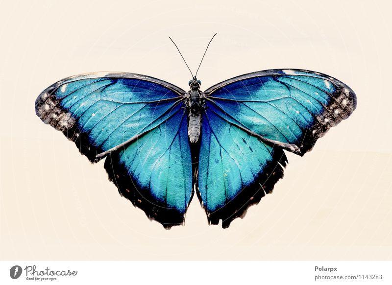 Blauer Morpho-Schmetterling Natur blau schön Farbe weiß Tier schwarz wild Dekoration & Verzierung offen sitzen Beautyfotografie Insekt türkis exotisch