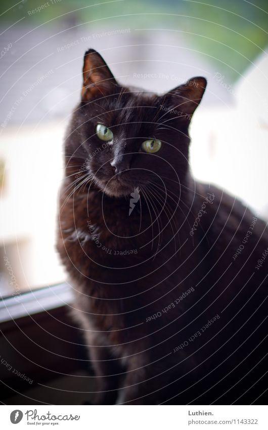 Fensterkatze elegant Wohlgefühl Zufriedenheit Erholung ruhig Meditation Häusliches Leben schwarzhaarig kurzhaarig Tier Haustier Katze 1 beobachten genießen